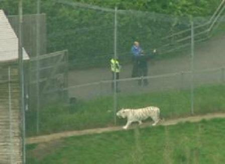 Тигър уби служителка на зоопарк във Великобритания