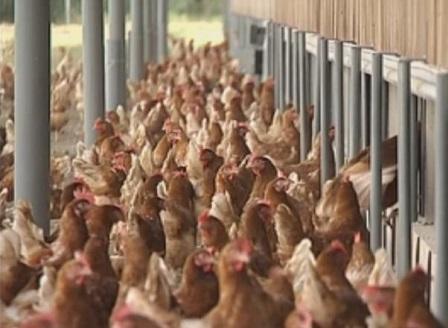 Стотици птицеферми в Холандия и Германия са затворени заради заразените яйца
