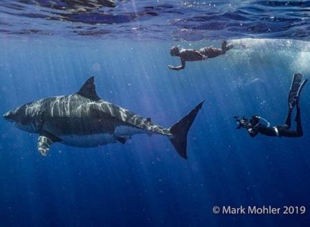 Хванаха на видео Deep Blue - най-голямата бяла акула (ВИДЕО)