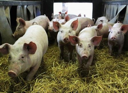 Ново огнище на африканска чума в един от най-големите свинекомплекси в България