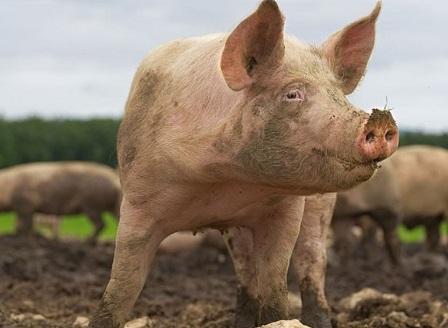 Нови огнища на африканска чума по свинете у нас
