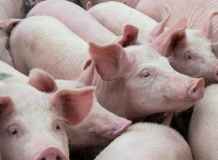 15% от прасетата у нас са засегнати от африканската чума