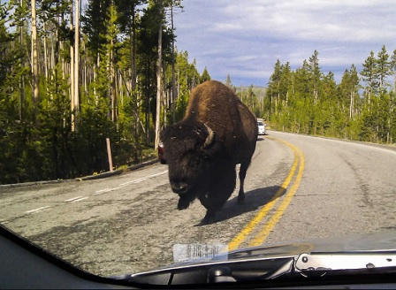 Избягали бизони бродят из канадски град